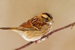 Sparrow Wallpaper