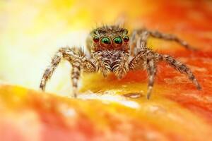 Spider Macro Wallpaper