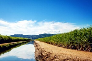 Sugarcane Fields Wallpaper