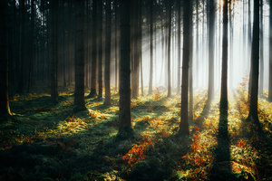 Sunbeams Morning Forest 4k