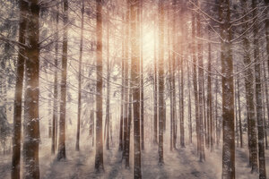 Sunbeams Snowy Trees Wallpaper