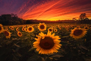 Sunflower Field 5k Wallpaper