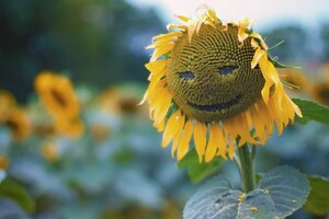 Sunflower Smiley Wallpaper
