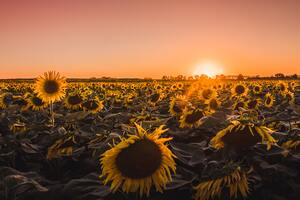 Sunflowers Farm Golden Hour 5k Wallpaper