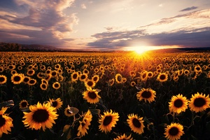 Sunflowers Field Sunrise 5k Wallpaper
