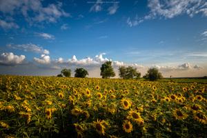 Sunflowes Field 8k
