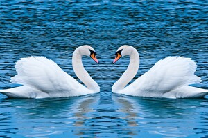 Swan Love Birds Wallpaper