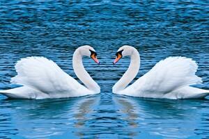 Swan Love Birds