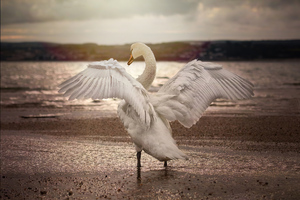 Swan Opening Wings 4k Wallpaper