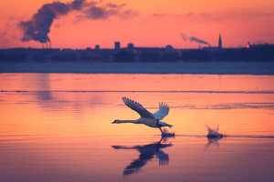 Swan Take Off Wallpaper