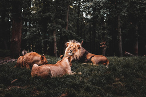 Three Lions Lying Down 5k Wallpaper