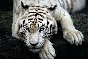 Tiger Albino Wallpaper