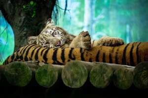 Tiger Amazing Photography