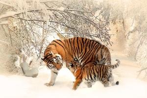 Tiger Baby Felidaee