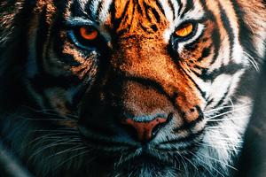 Tiger Close Up Wallpaper