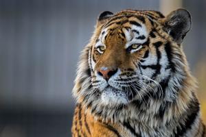 Tiger Closeup 4k