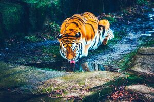 Tiger Drinking Water HD