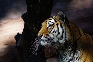 Tiger Glance 4k