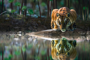 Tiger Glowing Eyes Drinking Water 4k