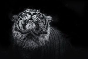 Tiger Monochrome 5k