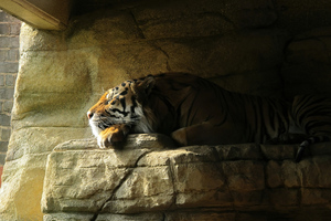Tiger Sleeping Closed Eyes 5k Wallpaper