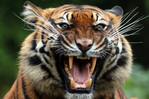 Tiger Teeths
