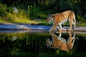 Tiger Walking On The Pond Way