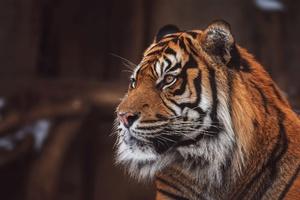 Tiger Wild