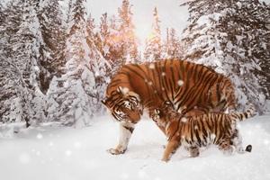 Tiger With Cub 8k