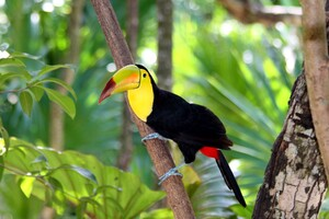 Toucan Bird Forest Wallpaper