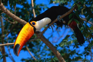 Toucans Wildlife Birds