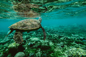 Turtle Underwater Wallpaper