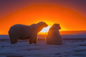 Two Polar Bears Watching Sunset 4k Wallpaper