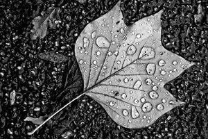 Water Droplets On Leaf Monochrome