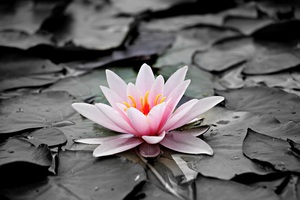 Water Lily 5k Wallpaper