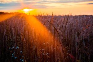 Wheat Field Sun Beams Photography 5k Wallpaper