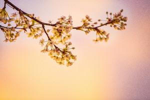 White Cherry Blossoms 5k Wallpaper