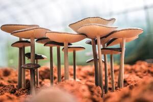 White Mushroom Bloom