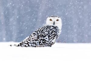 White Owl In Snow 5k Wallpaper