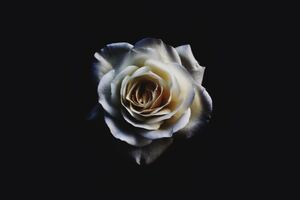 White Rose Oled 5k Wallpaper