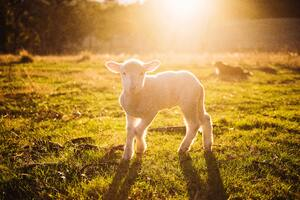 White Sheep Photography 8k Wallpaper
