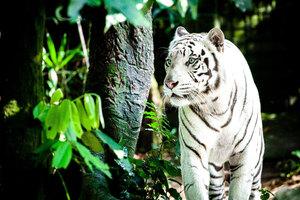 White Tiger 4k