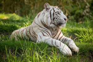 White Tiger 5k