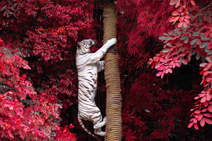 White Tiger Climbing Tree