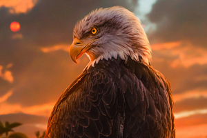 Wild Bald Eagle 4k Wallpaper