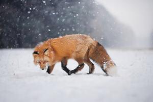 Wild Fox In Snow
