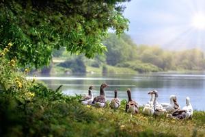 Wild Geese Wallpaper