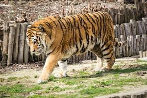 Wild Tiger In Zoo 5k