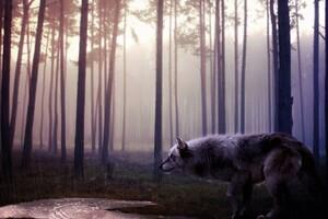 Wild Wolf Wallpaper