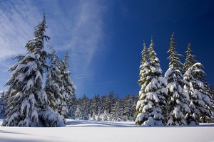 Winter Snow Pine Trees